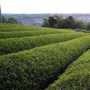 История появления зеленого чая