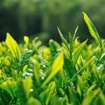 Можно ли пить зеленый чай при гастрите
